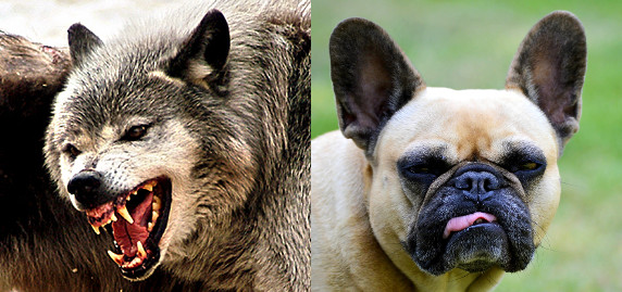 On the left, a photo of a snarling wolf. On the right, a photo of a grumpy bulldog.